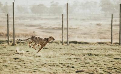 Cheetah running through the field
