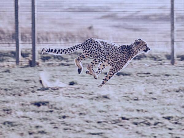 Cheetah running in the field